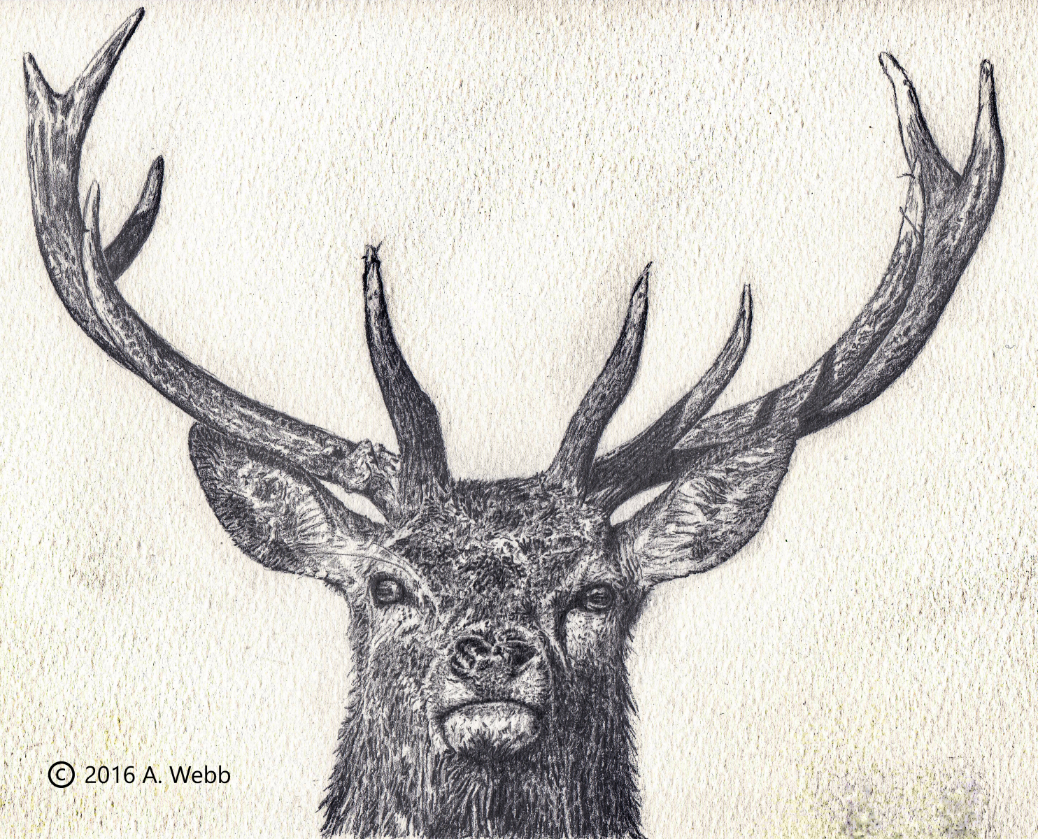 Majestic-Stag