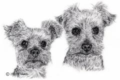 Yorkshire-Terriers